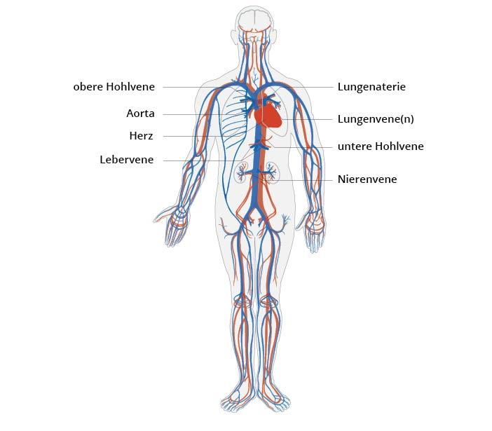 Herz-Kreislauf-System | CardioSecur