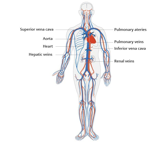 Illustration of the human cardiovascular system