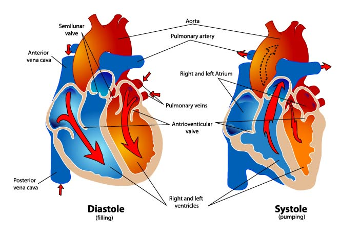 Diagram of a healthy heart in diastole and systole