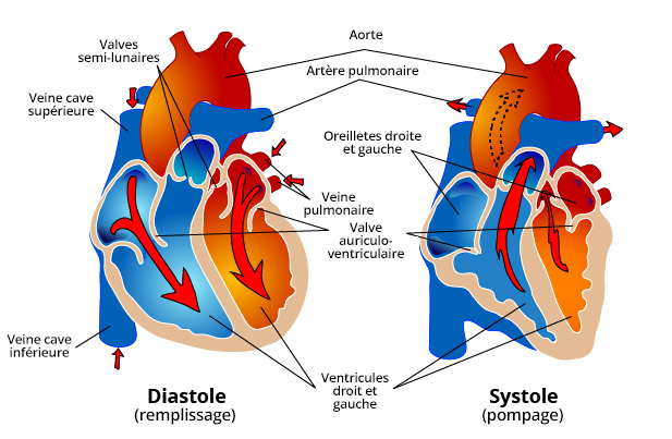 Cœur En Bonne Sante Frequence Cardiaque Et Style De Vie Cardiosecur