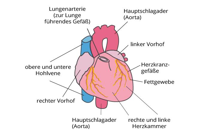 Herzinsuffizienz - Herzschwäche | CardioSecur